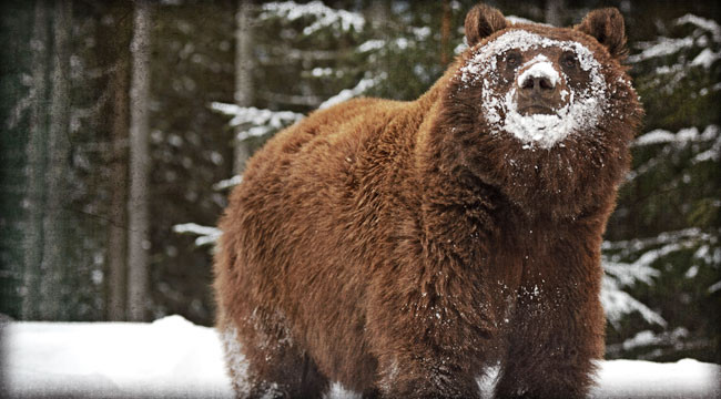 Bond Burglars to Bring Bears Out of Hibernation