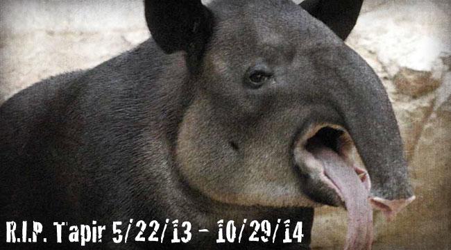 R.I.P. Tapir (5/22/13 - 10/29/14)