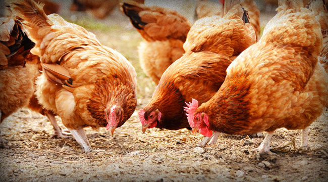 How to Profit from the Death of a Chicken Empire